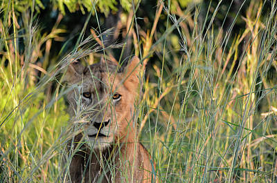 Lion Warily Watching Poster