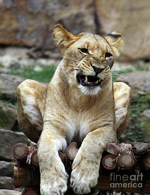 Lioness 2 Poster by Inspirational Photo Creations Audrey Woods