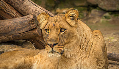 Lioness At Watch Poster