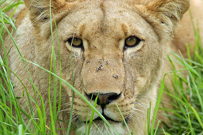 Poster featuring the photograph Lioness by Riana Van Staden