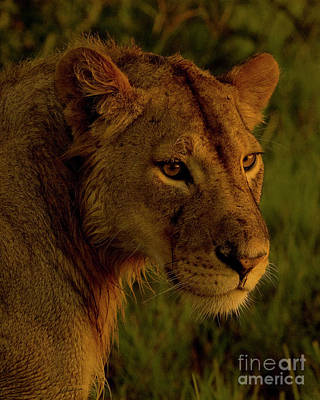Lioness-signed-#6947 Poster