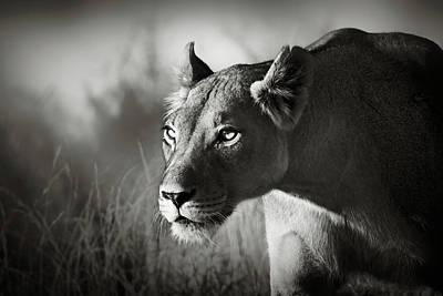 Lioness Stalking Poster