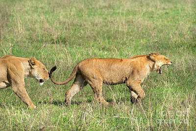 Lionesses In Ngorongoro Crater Poster