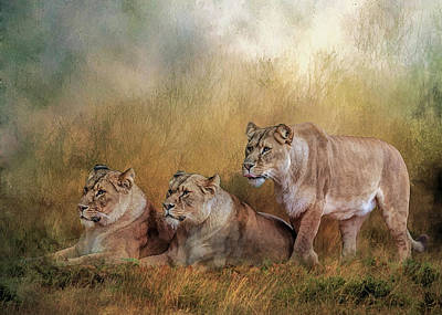 Lionesses Watching The Herd Poster