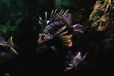 Lionfish Poster by Pati Photography