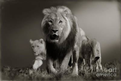 Poster featuring the photograph Lions On Their Way by Christine Sponchia
