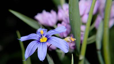 Poster featuring the photograph Little Blue Flower by Karen Musick
