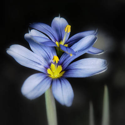 Poster featuring the photograph Little Blue Flowers by Karen Musick