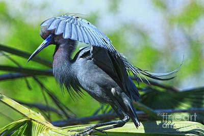 Poster featuring the photograph Little Blue Heron Alligator Farm by Deborah Benoit