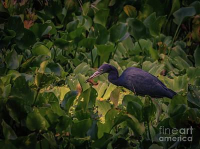 Little Blue Heron Having Lunch Poster