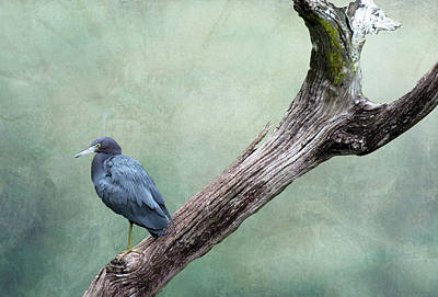 Little Blue Heron On Green Poster
