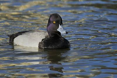Poster featuring the photograph Little Bluebill - Lesser Scaup Drake by Bradford Martin