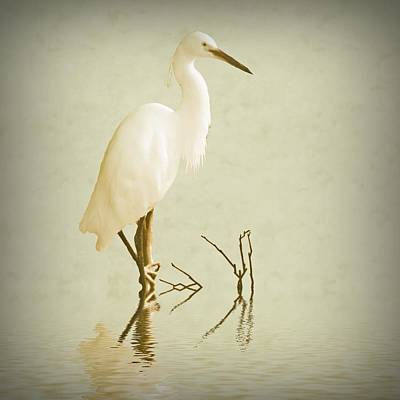 Little Egret 2 Poster by Sharon Lisa Clarke