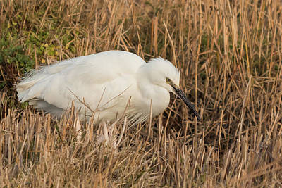 Little Egret Concentrating Poster