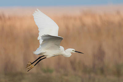 Little Egret Poster