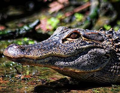Little Gator Smile 1 Poster