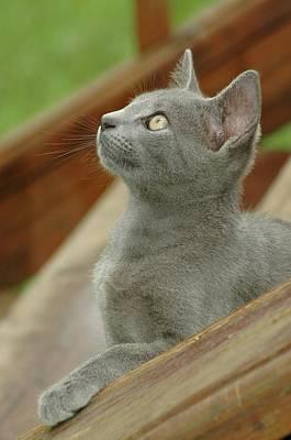 Little Gray Kitty Cat Poster