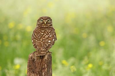 Little Owl In A Field Of Flowers Poster