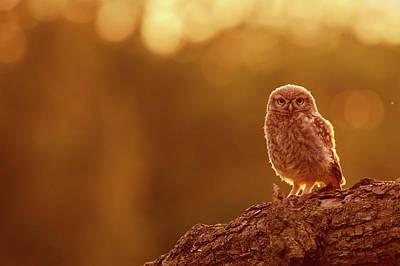 Little Owl In Red Poster
