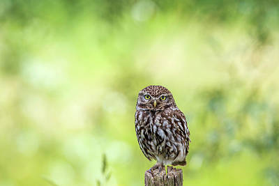 Little Owl Is Watching You Poster by Roeselien Raimond