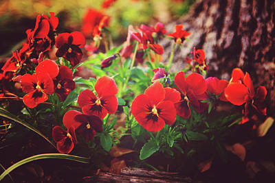 Poster featuring the photograph Little Red Pansies by Toni Hopper