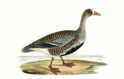 Little White Fronted Goose Poster by English School