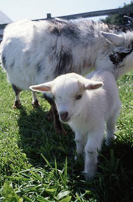 Little White Goat Poster
