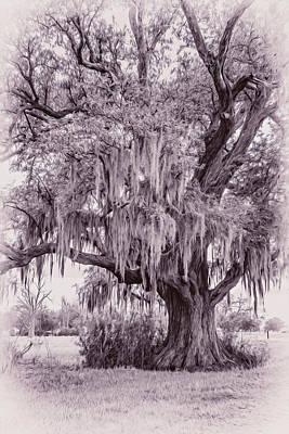 Live Oak And Spanish Moss - Oil Poster by Steve Harrington