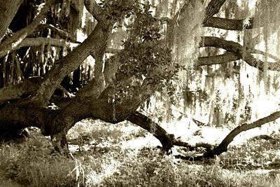 Live Oak Poster by D Renee Wilson