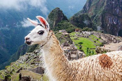 Llama At Machu Picchu Poster by Jess Kraft