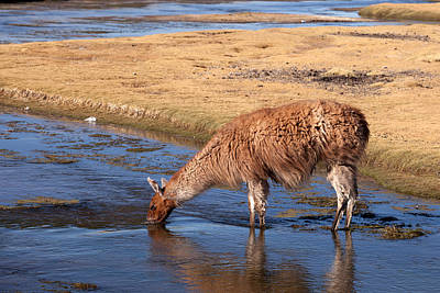 Llama Drinking In River Poster