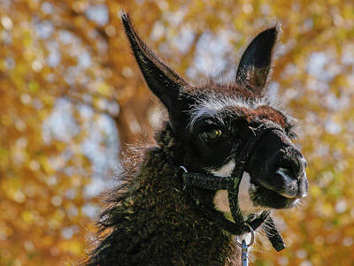 Llama With Fall Colors Poster by Jean Noren