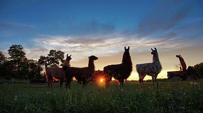 Llamas At Sunset Poster