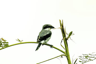 Poster featuring the photograph Loggerhead Shrike And Mantis by Robert Frederick