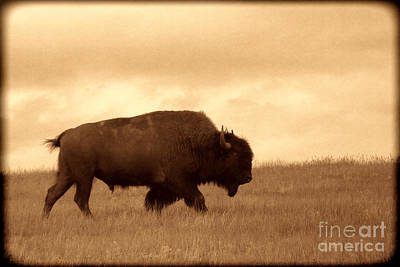 Lone Bison  Poster by American West Legend By Olivier Le Queinec