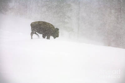 Lone Buffalo Bull In Winter Storm Poster