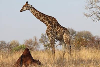 Lone Giraffe Poster by Tania Scholtz