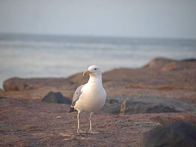 Lone Gull Poster by  Newwwman