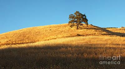 Lone Oak Tree Poster