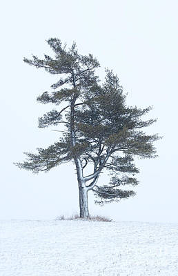 Lone Pine In Snowstorm Poster