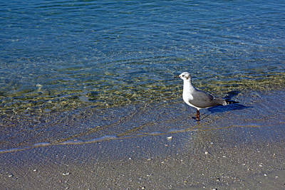 Lone Seagull At Miramar Beach In Naples Poster