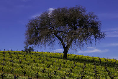 Lone Tree In Vineyard Poster