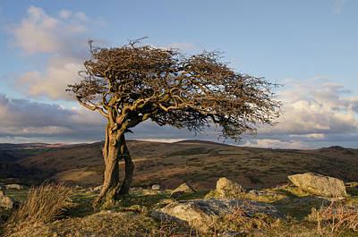 Lone Tree On Dartmoor Poster