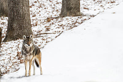 Poster featuring the photograph Lone Winter Coyote by Andrea Silies