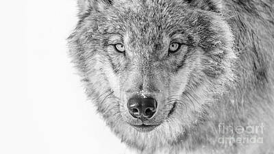 Lone Wolf Poster by Heather Swan