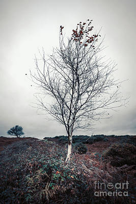 Lonely Birch Tree Poster by Svetlana Sewell