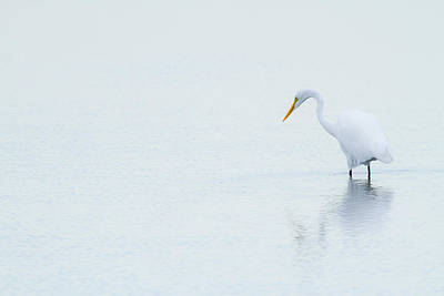 Lonely Egret Poster by Karol Livote