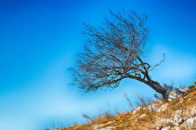 Lonely Tree Blue Sky Poster by Jivko Nakev