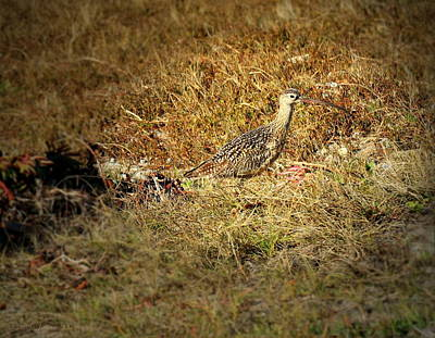 Long Billed Curlew In Full Camo Poster by Joyce Dickens