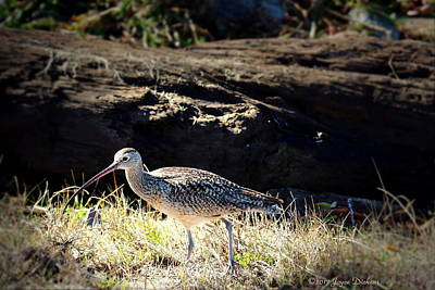 Long Billed Curlew Poster by Joyce Dickens